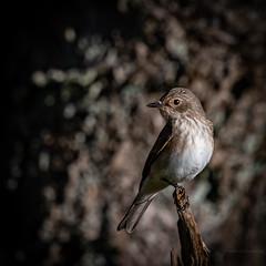 Spotted flycatcher (robert.lindholm87) Tags: nikon d500 300mm 300pf teleconverter nikkor bird birds flycatcher spotted grey light dof lightroom sweden autumn nature animal animals
