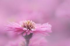 pretty (christophe.laigle) Tags: rose christophelaigle fleur macro nature flower fuji xpro2 xf60mm pink