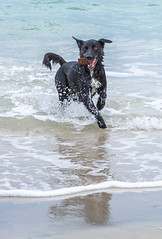 Land Dog or Sea Dog - why he's both! (Jared Beaney) Tags: canon6d canon australia photography photographer travel southwest westernaustralia dog dogs puppy kelpie bordercollie cross x ocean beach sea water