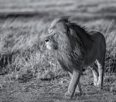 The King in all his glory   (Panthera leo leo) (sharp shooter2011) Tags: pantheraleoleo kingofthejungle lionking africa kenya masaimara wildlifephotography