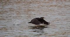 Great Cormorant Taking Off - IMG_8651 (406highlander) Tags: phalacrocoraxcarbo greatcormorant greatblackcormorant bird wings flying river ythan water estuary riverythan ythanestuary newburgh aberdeenshire scotland animal