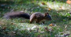 Suchend (KaAuenwasser83) Tags: eichhörnchen sucht tier boden wiese gras