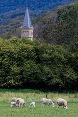Campagne d'Oust (Ariège) (PierreG_09) Tags: ariège pyrénées pirineos couserans occitanie midipyrénées faune mouton brebis agneau clocher église