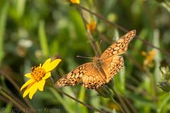 20181007-_E1A8433 (Denver Kramer) Tags: animals canon100400mmll canon7dll clearcreek denton denverkramerphotography mexicanfritillary texas butterflies wildlife unitedstates us