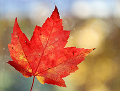 Autumn Joy (Through Serena's Lens) Tags: lookingcloseonfriday autumn closeup maple red leaf colorful bright bokeh canoneos6dmarkii tistheseason