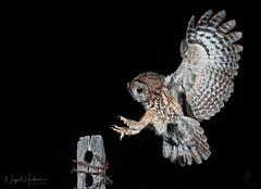 Tawny Owl (Nigel Hodson) Tags: canon 1dxmkii 300mmf28ii owl tawnyowl tawny birds birdphotography bird birdofprey wildlife wildlifephotography nature naturephotography ianhowells