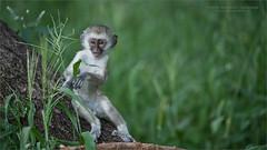 Vervet Monkey in Tanzania (Raymond J Barlow) Tags: monkey vervet tanzania africa tarangire travel wildlife workshop raymondbarlow phototours