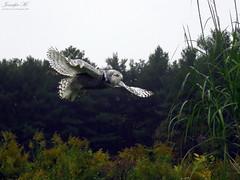 Robert Snowy Owl CRC IMG_5530 (Jennz World) Tags: ©jennifermlivick canadianraptorconservancy vittoria ontario canada raptors raptor bird snowyowl owl