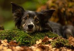 Joey (Flemming Andersen) Tags: portrait dog photography workshop with alicja zmyslowska denmark 2018 nature bordercollie outdoor joey pet hund animal 2018animalborder colliejoeyoutdoordoghundnaturepetportraitølstedcapital region denmarkdenmarkdkdog