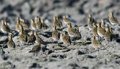 Golden Plover (Ponty Birder) Tags: g b wheeler garywheeler wales pontybirder birds waders
