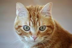 Spritz (En memoria de Zarpazos, mi valiente y mimoso tigre) Tags: cat ginger miciorosso orangetabby chatonroux redchat redcat gattoarancione gattorosso gatopelirrojo gatoatigradonaranja gatonaranja