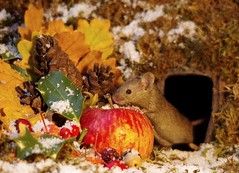 Christmas winter mouse with snow and apple  (1) (Simon Dell Photography) Tags: mouse wild wildlife animal rodent cute funny awesome nature free snow christmas card scene display fruit apples moss nativity barn home log pile george simon dell photography sheffield photographer xmas festive winter autumn fall uk england