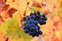 Raisin noir (Croc'odile67) Tags: nikon d3300 sigma contemporary 18200dcoshsmc raisins automne autumn nature feuilles vigne