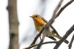 (Jérôme_M) Tags: canon eos 600d nature oiseau bird rougegorge bokeh sigma 150600 automne aquitaine landes seignanx saintmartindeseignanx