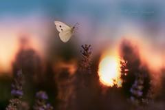 ~°~°~ (Raffaella Coreggioli ( fioregiallo)) Tags: nadia macro fioregiallo nikon insetti farfalle fiori volo tramonto lavanda