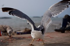 Seagulls 14 (pan_orama) Tags: marokko maroc morocco essaouira beach harbour seagulls fish sun color travel