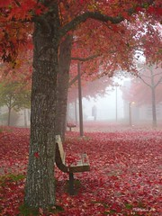 Foggy Morning (CanMan90) Tags: fog workplace fall colours liquidambar benches leaves university victoria britishcolumbia vancouverisland october 2018 cans2s canon powershotsd1200is pointshoot trees clusterhousing studenthousing