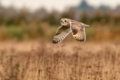 Short Eared Owl, Burwell Fen, Cambridgeshire, UK (2) (Nick Bowman1) Tags: fe100400lens shortearedowl ilce9 sony14xtc burwellfen uk cambridgeshire