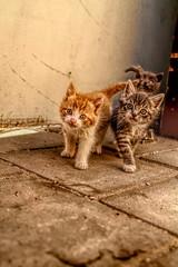 0029 (gill4kleuren - 17 ml views) Tags: pussy puss poes chat mieze katje gato gata gatto cat pet animal kitty kat pussycat poezen