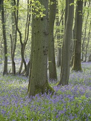 Grand déballage de printemps *---- ° (Titole) Tags: bluebells trunks trees titole nicolefaton spring perpetualchallenge