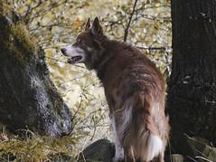 Kira the hunter (A child in the night) Tags: kira bordercollie red sheepdog woods hunter intense hyper stealth focus