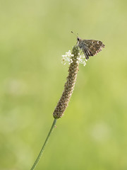 Au sommet * (Titole) Tags: brown green butterfly titole nicolefaton