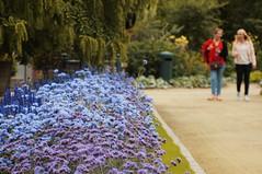 Purple Before the Rain (lewist584) Tags: sony sonynex5r nex5r nex emount belgium leuven louvain helios85210mmf38 manualfocus manuallens m42 m42mount flowers purple lavender