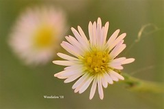 (WendieLarson) Tags: wickedhair wendielou wildflower wildflowers white wendielarson wild flower fleurs flowers fiori flora d7000 california color bloom nikon nature mountains meadow macro landscape landscapes petals pink outside outdoors plant plants aperature 40mm