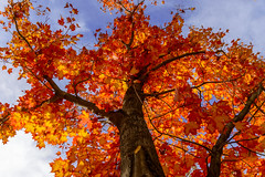 Tree on Fire (aaronrhawkins) Tags: tree fire flame red orange yellow burn onfire bright vivid fall autumn leaves trunk lookup above sky skyward flames sunlight sun afternoon provo river walk utah aaronhawkins