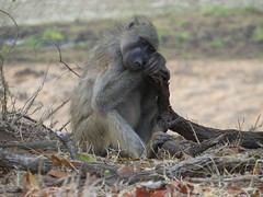 Can't keep my eyes open....( Baboon / Bobbejaan ) (Pixi2011) Tags: baboons krugernationalpark africa wildlife nature coth coth5 alittlebeauty specanimal