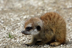 9.5 On The Cute-O-Meter (andrewrosspoetry) Tags: meerkat baby