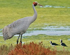 The tall and the small (oliverred) Tags: brolga blackwingedstilt naturethroughthelens alittlebeauty coth coth5