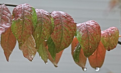 Water Drops on Autumn Leaves (hbickel) Tags: autumn autumncolors beautiful