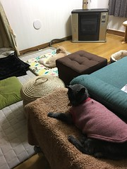 Argent and Norio, Without Flash or Processing (sjrankin) Tags: 29september2018 edited animal cat argent norio heater floor livingroom mat night kitahiroshima hokkaido japan