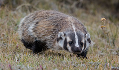 The stealth look (ChicagoBob46) Tags: badger yellowstone yellowstonenationalpark nature wildlife coth5 naturethroughthelens ngc specanimal specanimalphotooftheday npc