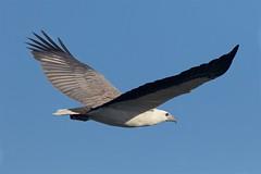 Easy glide (Geoff Main) Tags: australia bird birdofprey birdinflight canon7dmarkii canonef300mmf28lisiiusm canonefextender20xiii eagle nsw nswsouthcoast whitebelliedseaeagle