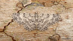 Geometer Moth, Glena or Physocleora sp.? Geometridae (Ecuador Megadiverso) Tags: andreaskay camouflage ecuador geometermoth geometridae mindo moth glena physocleora