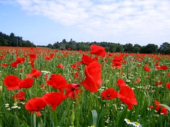 Poppy Field in Shropshire (Seventh Heaven Photography **) Tags: poppy poppies field shropshire england pim hill flowers blooms flora july 2006 chamomile nikon d3200 landscape trees sky