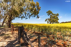 Red and Gold (red stilletto) Tags: northeastvictoria dookie canola farm gate tree trees spring fence gates