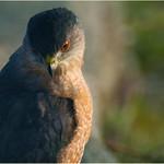 hawk eye thumbnail