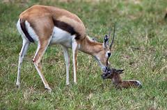 """5 minute"" old Thomsons gazelle (ucumari photography) Tags: ucumariphotography thomsonsgazelle animal mammal richmond virginia va zoo october 2018 eudorcasthomsonii newborn calf dsc0244 specanimal"