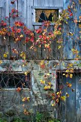 Autumn Drapery (Doris Burfind) Tags: autumn fall leaves colour vines barn decay weathered window door