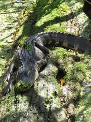 Log...best bed ever (Usagi93190) Tags: alligator reptile wildlife nature outdoors tampa florida lettuce lake park