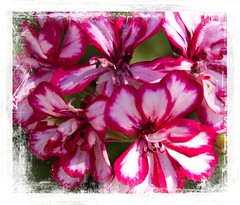Geranium (Audrey A Jackson) Tags: canon60d geranaium colour nature petals