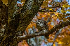 Who goeth below? (Earl Reinink) Tags: owl raptor predatorefocus focussed bird tree leaves autumn color barredowl nature wildlife zaaadadaza