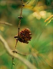 Autumn's Gift (barbara_donders) Tags: natuur nature herfst autumn fall pinecone dennenappel forest bos green groen magical magisch beautiful mooi prachtig bokeh macro