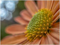 Flower and Light (Ingmar Vermolen) Tags: flower panasonic sigma manualfocus light macro close autumn