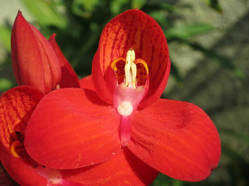Flickriver: Most interesting photos from Disa orchids pool
