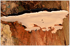 Bracket fungus beech (2) (bobspicturebox) Tags: mushrooms horse head backbone honeycomb cep penny bun fly agaric blusher brittle stem false death cap knight deceiver russula forest scenes hampshire