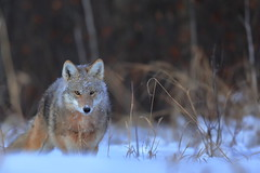Coyote at sunrise (fred.colbourne) Tags: coyote snow hunting grass trees wildlife elkislandnationalpark alberta